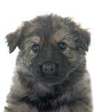 Alte Art Schäferhund Stockfoto