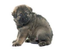 Alte Art Schäferhund Lizenzfreies Stockbild