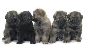 Alte Art Schäferhund der Welpen Lizenzfreie Stockbilder