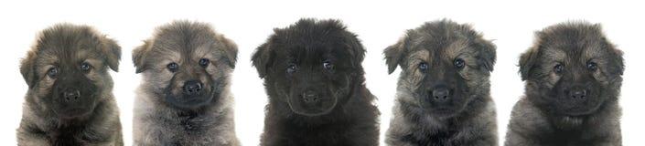 Alte Art Schäferhund der Welpen Lizenzfreies Stockfoto