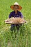 Alte asiatische Frauen siebt Reis am Reisfeld Lizenzfreie Stockbilder