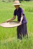 Alte asiatische Frauen siebt Reis am Reisfeld