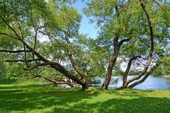 Alte ausbreitende Weiden wachsen auf der Bank von Holguin von einem Teich Peterhof, Kolonistsky-Park Stockbild