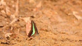 Alte azione di definizione della farfalla comune di moscone azzurro della carne stock footage