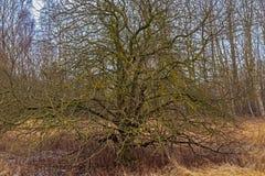 Alte Bäume abgedeckt mit Moos Stockfotografie