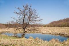 Alte Bäume auf der Bank des Flusses im Frühjahr Stockbild