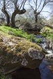 Alte Bäume an Cornalvo-Naturpark, Extremadura Lizenzfreies Stockbild
