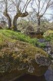 Alte Bäume an Cornalvo-Naturpark, Extremadura Lizenzfreie Stockbilder