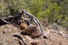 Alte Bäume in den schroffen Bergen von Troodos, Zypern Stockbild