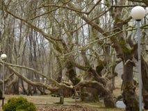 Alte Bäume der Jahrhunderte lizenzfreie stockfotografie