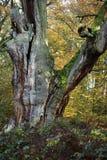 Alte Bäume des Nationalparks Reinhard Forest Stockbild