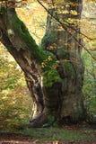 Alte Bäume des Nationalparks Reinhard Forest Stockbilder