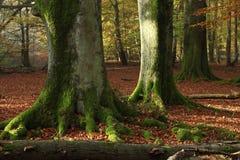 Alte Bäume des Nationalparks Reinhard Forest Lizenzfreie Stockfotografie