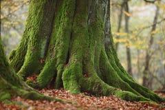 Alte Bäume des Nationalparks Reinhard Forest Lizenzfreie Stockbilder