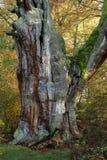 Alte Bäume des Nationalparks Reinhard Forest Stockfotos