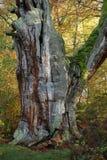 Alte Bäume des Nationalparks Reinhard Forest Stockfotografie