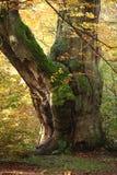Alte Bäume des Nationalparks Reinhard Forest Stockfoto