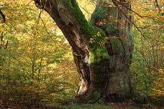 Alte Bäume des Nationalparks Reinhard Forest Lizenzfreies Stockbild