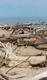 Alte Bäume, die an der Küste in Lettland legen Stockfotografie