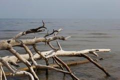 Alte Bäume, die an der Küste in Lettland legen Stockfoto