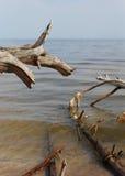 Alte Bäume, die an der Küste in Lettland legen Stockfotos