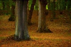 Alte Bäume im Frühherbst Stockbild
