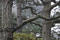 Alte Bäume im japanischen Teegarten im Golden Gate Park, San Francisco, USA Stockfotografie