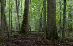 Alte Bäume im natürlichen Stand von Bialowieza-Wald Stockbild