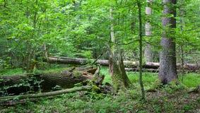 Alte Bäume im natürlichen Stand von Bialowieza-Wald Stockbilder