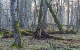 Alte Bäume im natürlichen Stand von Bialowieza-Wald Lizenzfreie Stockfotografie