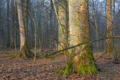 Alte Bäume im natürlichen Stand von Bialowieza-Wald Lizenzfreie Stockfotos