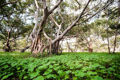 Alte Bäume im tropischen Wald Stockbilder