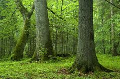Alte Bäume im Wald Lizenzfreie Stockfotos