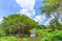 Alte Bäume innerhalb des Kanals im Mangrovenwald Lizenzfreies Stockfoto