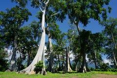 Alte Bäume LIAN und blauer Himmel Lizenzfreies Stockfoto