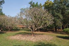 Alte Bäume mit breiten Niederlassungen an Wat Pra Khaeo Kamphaeng Phet-Provinz, Thailand Lizenzfreie Stockfotografie