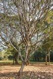 Alte Bäume mit breiten Niederlassungen an Wat Pra Khaeo Kamphaeng Phet-Provinz, Thailand Stockbild