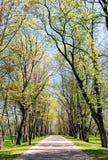 Alte Bäume mit dem frischen grünen Laub, das neben Park footpa wächst Lizenzfreie Stockbilder