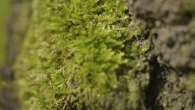 Alte Bäume mit Flechte und Moos in der Waldbaum- des Waldesnatur grünen Holz Moos auf dem Baum in der Waldnahaufnahme Lizenzfreie Stockbilder