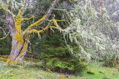 Alte Bäume mit Moos im Frühjahr Stockbild
