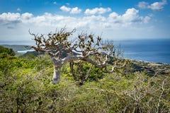 Alte Bäume Nationalparks Christoffel Stockfotografie