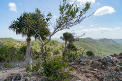 Alte Bäume Nationalparks Christoffel Lizenzfreies Stockfoto