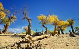 Alte Bäume - Populus euphratica lizenzfreie stockfotos