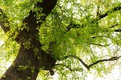 alte Bäume und Baumknospen Stockfotografie