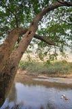 Alte Bäume und die Enten Lizenzfreie Stockfotografie