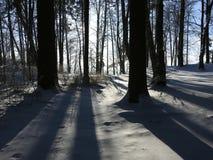 Alte Bäume und Schatten im Wald, Litauen Lizenzfreie Stockfotos