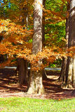 Alte Bäume verziert durch buntes Herbstlaub Lizenzfreie Stockfotos