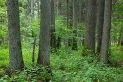 Alte Bäume von Bialowieza-Wald Stockfotografie