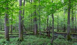 Alte Bäume von Bialowieza-Wald Stockfoto