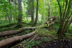 Alte Bäume von Bialowieza-Wald im Sommer Lizenzfreie Stockfotos